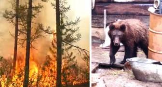 La catastrophe silencieuse de l'Arctique : des animaux désespérés approchent les hommes pour échapper au feu
