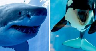 Eine Studie zeigt, dass weiße Haie große ANGST vor Orcas haben