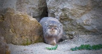 Pallas cat suspiciously looking at the camera as if it was an alien object!!