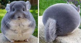 Le chinchilla : une adorable souris domestique à la forme parfaitement ronde et aux poils tout doux