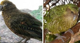 In Nuova Zelanda è stata scoperta una nuova specie di pappagallo preistorico gigante