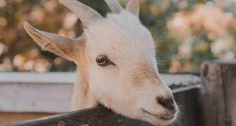 Le capre riconoscono le emozioni e sono attratte dalle persone sorridenti e felici