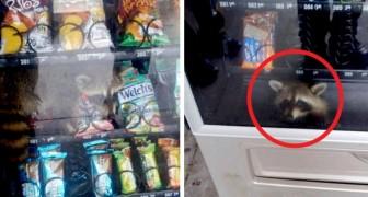 Questo procione è rimasto bloccato in un distributore mentre cercava di rubare degli snack