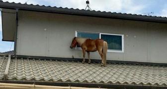 Deze pony slaagde erin zichzelf te redden van de overstroming door op het dak van een huis te klimmen