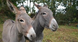 Le massacre silencieux des ânes : en Chine, on utilise leur peau pour les cosmétiques et la nourriture
