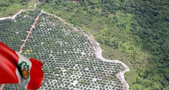 Stop à la déforestation due à l'huile de palme : le tournant historique du Pérou