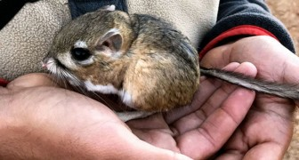 Hij leek uitgestorven, maar deze kangoeroemuisgoffer is na 30 jaar terug