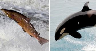 I salmoni e le orche marine rischiano l'estinzione a causa di un piano idrico del governo USA