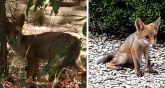 Ecco Penny e Lupin, gli adorabili cuccioli di volpe nati in un parco di Roma