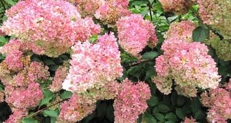 Ecco l'ortensia vaniglia fragola, la pianta dai colori meravigliosi che trasformerà ogni giardino!