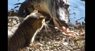 Chat contre alligator: qui va gagner?