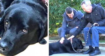 The story of Lass, a labrador who has learned how to bring his owner who has Alzheimer's safely back home!