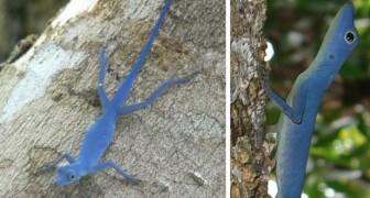 Diese Eidechse ist das einzige reinblaue Reptil der Welt und ist nun vom Aussterben bedroht