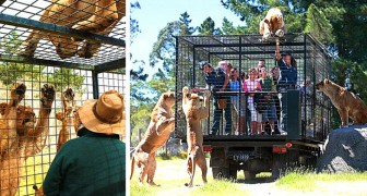This zoo park puts the tourists in a cage instead of the animals -  for an even more thrilling visit!