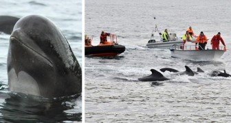 Auf den Färöer-Inseln neues Massaker an Walen: 100 Exemplare bei einer traditionellen Jagd getötet