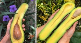 Questa azienda agricola produce degli avocado lunghi fino a 90 cm che possono pesare oltre 1 kg