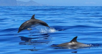 In Giappone riparte la caccia ai delfini: una mattanza lunga 6 mesi contro creature indifese