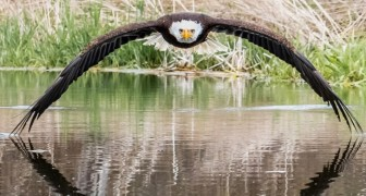 Questo fotografo ha catturato la maestosità dell'aquila calva in uno scatto che sfiora la perfezione
