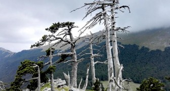 Der älteste Baum Europas steht in Italien: alle Geheimnisse des Italus