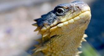 La lucertola armadillo: un affascinante rettile a rischio di estinzione