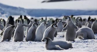 In Antartide è scomparsa la seconda colonia più grande di pinguini imperatore