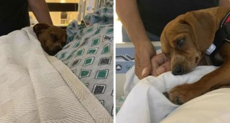 Questo dolce cagnolino rifiuta di lasciare da solo in ospedale il padrone in fin di vita