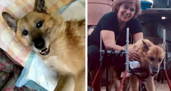 La storia di Lazzaro, cane maltrattato che risorge e torna a camminare sulle proprie zampe