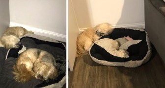 After this dog's best furry friend passed away, he still sleeps on the kennel pillow leaving room for his friend