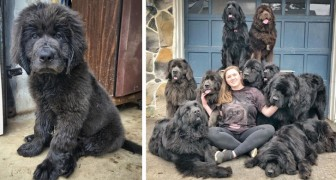 This woman lives at home with 9 Newfoundland dogs trained to help children with communication difficulties