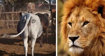 Forscher versuchen, das Leben von Löwen zu retten, indem sie Augen auf den Rücken von Kühen zeichnen