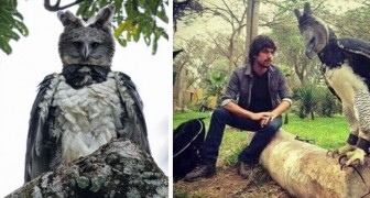 La harpie féroce : le rapace en voie de disparition si grand qu'il ressemble à un humain masqué
