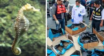Perù, sequestrata una nave con 12 milioni di cavallucci marini pescati illegalmente: un bottino da 6 milioni di dollari