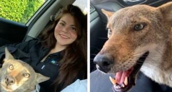 En kvinna räddar en skadad hund från vägen, men veterinärerna upptäcker att det är en coyote
