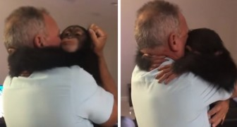 This chimpanzee sees his human parents again after a long time and welcomes them with a big hug