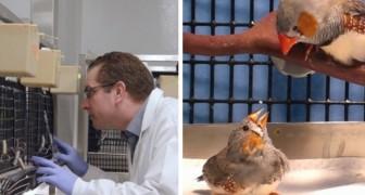 Gli scienziati impiantano falsi ricordi negli uccelli per insegnare loro canzoni che non hanno mai sentito prima