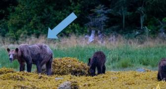 Unterernährte Bären: Der Rückgang des Lachses durch den Klimawandel bedroht die Überwinterungsbestände