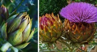 Il carciofo non è soltanto un'ottima verdura, ma anche un fiore bello e colorato