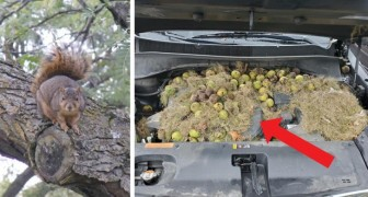 Ett par hittar mer än 200 valnötter som några ekorrar gömt undan i motorhuven på sin bil