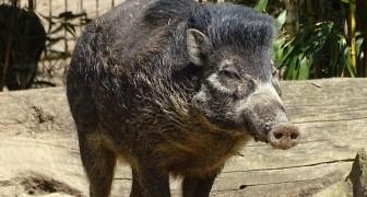 Zum ersten Mal filmten Wissenschaftler Wildschweine, die mit Stöcken Löcher graben