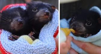 In Australien wurden 8 Exemplare tasmanischer Teufel geboren, Tiere, die vom Aussterben bedroht sind