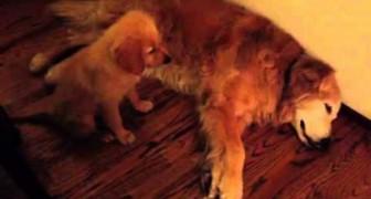 Cachorro se preocupa por su amigo mas viejito que esta teniendo un sueño feo.