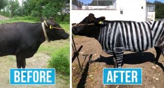 Deze Japanse wetenschappers hebben koeien geschilderd met zebrastrepen om insecten af te weren