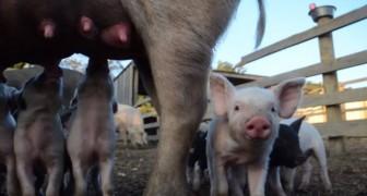 Salvati nel giorno stesso della macellazione: la commovente storia di una famiglia di maialini