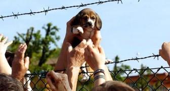 Nessun furto se si salvano gli animali dai maltrattamenti: annullate le condanne agli animalisti di Green Hill