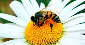 Bijen zijn uitgeroepen tot het belangrijkste levende wezen op aarde