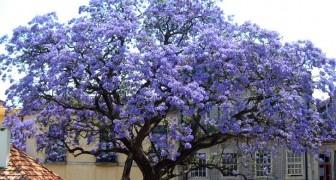 L'albero Imperatrice cresce in tempi record e può produrre fino a 4 volte più ossigeno degli altri