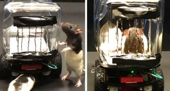 Wetenschappers leren muizen kleine auto's te besturen: een filmpje toont hun vaardigheden