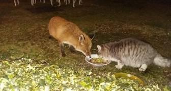 In un paesino in provincia di Como, una volpe e un gatto cenano insieme ogni sera mangiando dalla stessa ciotola