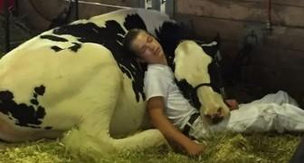 Dopo aver perso una gara per bovini, un ragazzo e la sua mucca riposano abbracciati in una stalla