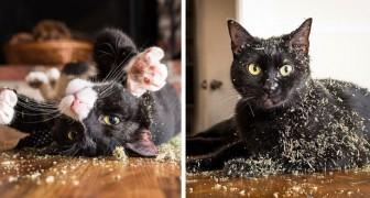 Wetenschappers proberen uit te leggen waarom onze geliefde katten bedwelmd raken van kattengras